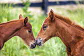 Two young colts — Stock Photo