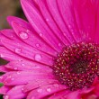 Pink daisy flower with rain drops — ストック写真 #66249685