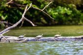 Turtles sunbathing — Stock Photo
