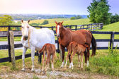 Mother horses with colts — Stock Photo