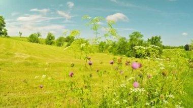 Ironweed virágok egy személy lovaglás a háttérben egy ragyogó napsütéses napon a terület látképe — Vídeo stock