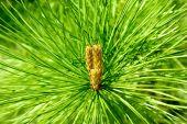 Mountain pine cone — Stock Photo