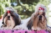 Dog show — Stock Photo