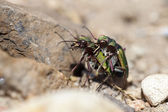 Field Tiger Beetle - mating — Stock Photo