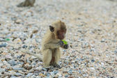 Crab-eating macaque. — Stock Photo