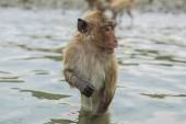 Swimming crab-eating macaques. — Stock Photo