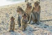Monkey's family on the shore. — Stock Photo