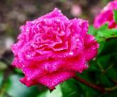 Rose after rain — Stock Photo