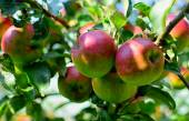 Ripe apples on the tree — Stock Photo