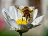 Bee on chamomile — Stock Photo