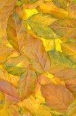 Discolored autumn leaves wisteria — Stock Photo