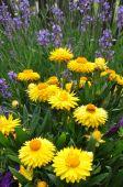 Yellow strawflower in the garden — Foto Stock
