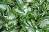 Fresh spring leaves of hostas plant in the garden — Stock Photo