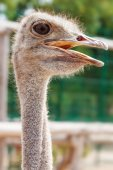 African Ostrich head — Stock Photo