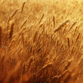 Ripening ears of wheat field — Stock Photo