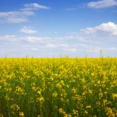 Rape seed flowers — Stok fotoğraf