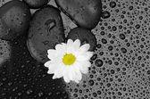 Zen basalt stones and daisy isolated on black — Stock Photo