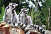 Two lemur monkeys are resting — Foto Stock