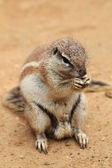 Exotic squirrel  — Stock fotografie