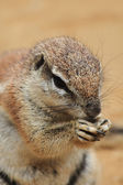 Exotic squirrel  — Foto Stock