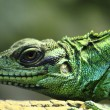 Green lizard (dragon) — Stock Photo #53244013