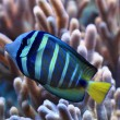 Blue and yellow exotic fish — Stock Photo #53244189