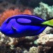 Blue and yellow exotic fish — Stock Photo #53244213