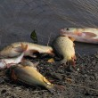 Haul of carp fishes — Stock Photo #56990565