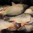 Haul of carp fishes — Stock Photo #56991429