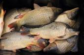 Haul of carp fishes  — Stock Photo