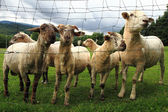 Sheep in the green grass — Stock Photo