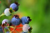 蓝莓在夏天 — 图库照片