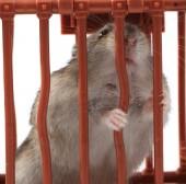 Dzungarian mouse — Stock Photo