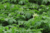 Potato plant background — Stock Photo
