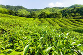 Green tea garden on the hill,China south — Stock Photo