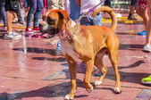 Colorful dog in the indian festival Holi — Stock Photo