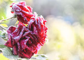 Frozen roses in garden — Stock Photo