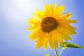 Zonnebloem op blauwe hemel — Stockfoto