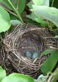 Blackbird eggs in nest  — Stock Photo