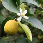 Ripe yellow lemon with flower — Stock Photo #60400071
