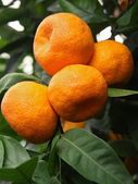 Ripe tangerines on a tree — Stock Photo