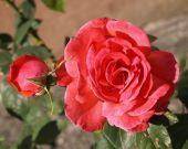 Beautiful romantic roses — Stock Photo