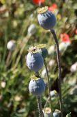 Opium poppy field — Stock Photo