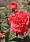Beautiful romantic pink roses — Stock Photo