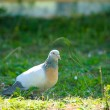 Beautiful Curious pigeon — Stock Photo #52998467