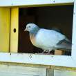 Beautiful Curious pigeon — Stock Photo #52998741