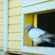 Beautiful Curious pigeon — Stock Photo #52998743