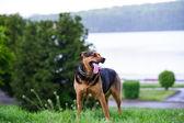 Perro feliz en hierba verde — Foto de Stock