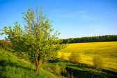 Alan mavi gökyüzü sarı kolza tohumu — Stok fotoğraf