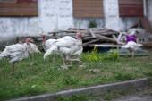 Turchia giovane in una fattoria — Foto Stock